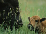 Close View of an American Bison and her Calf Photographic Print by Annie Griffiths Belt
