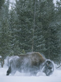 An American Bison Shakes Snow off of its Back Photographic Print by Tom Murphy