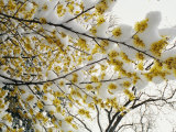 Fluffy Snow Clings to the Yellow Branches of a Flowering Forsythia Bush Photographic Print by Stephen St. John
