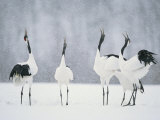 Red Crowned Crane (Grus Japonensis) Courtship Dance, Hokkaido, Japan Photographie par Roy Toft