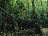 Woodland View of a Polynesian Forest with Mosses, Vines, Trees and Ferns Photographic Print by Tim Laman