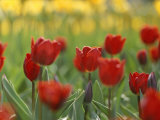 A Bed of Red Tulips in New York City Photographic Print by Raul Touzon