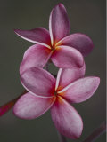A Close View of a Pair of Frangipani Flowers Photographic Print by Jodi Cobb