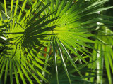 Close View of a Palm Frond Photographic Print by Klaus Nigge