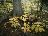 A Red Fox on Isle Royale in Lake Superior, Autumn Woodland Photographic Print by Annie Griffiths Belt