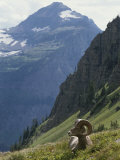A Bighorn Sheep Ram, Ovis Canadensis, Rests in an Alpine Meadow Photographic Print by Tom Murphy