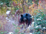 A Black Bear Looks Out of a Forest While Hunting for Food Photographic Print by Taylor S. Kennedy