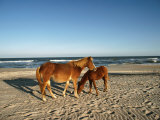 Two Chincoteague Ponies Stand Close Together on the Beach Fotoprint van James P. Blair