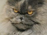 Close View of a Grey Himalayan Cat Photographic Print by Brian Gordon Green