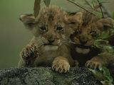 Two African Lion Cubs Chew on a Stick Fotodruck von Kim Wolhuter