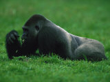 Western Lowland Gorilla Nibbling on Vegetation Photographic Print by Michael Nichols
