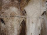 A Horse and a Mule Peer Through a Wire Fence Lámina fotográfica por Touzon, Raul