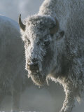 Frost Covers the Coat of an American Bison on a Chilly Morning Impressão fotográfica por Tom Murphy