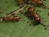 Honey Ants Gather Honey Dew Secreted by Aphids the Ants Farm Photographic Print by George Grall