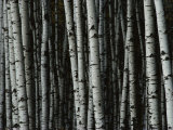 A Forest of White Birch Trees Fotografie-Druck von Medford Taylor