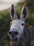 Close View of a Braying Donkey Photographic Print by Jodi Cobb