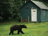 A Black Bear Looks for a Meal on the Grounds of the Taku Glacier Lodge Photographic Print by Raymond Gehman