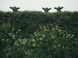 Three Cows Peer over a Hedge Garlanded with Wildflowers Photographic Print by Sam Abell