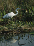 White Great Blue Heron in Pickerel Weeds and Marsh Reeds Photographic Print by Raymond Gehman