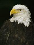 Portrait of an American Bald Eagle Fotodruck von Anne Keiser