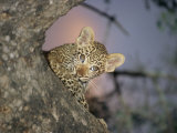 Baby Leopard Peeks Out from Behind a Tree Trunk Photographic Print by Kim Wolhuter