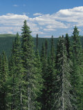 Tall Evergreen Forest in Mountains under a Sky with Puffy Clouds Photographic Print by Bill Curtsinger