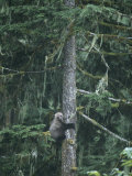 A Grizzly Bear Clings to a Fir Tree it is Climbing Photographic Print by Tom Murphy