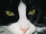 Close View of a Black and White Tabby Cat Photographic Print by Brian Gordon Green