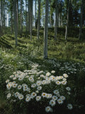 A Cluster of Daisies and Aspen Trees Outside of Telluride, Colorado Photographic Print by Taylor S. Kennedy