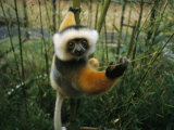 Diademed Sifaka Lemur Photographic Print by Stephen Alvarez