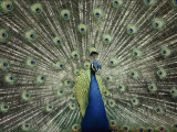 Indian Peacock Spreads its Feathers to Court a Female Photographic Print by Anne Keiser
