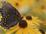 Close-up of a Red-Spotted Purple Butterfly on a Black-Eyed Susan Photographic Print by Brian Gordon Green