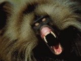 A Male Gelada Baboon Bares His Fangs Photographic Print by Michael Nichols