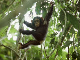 Young Chimpanzee Hangs from a Tree Limb Photographic Print by Michael Nichols