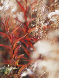 Autumn Colored Meadow Grasses in the Mackenzie River Delta Fotografisk tryk af Raymond Gehman
