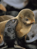 A Northern Fur Seal Pup Nuzzles its Mother Photographic Print by Joel Sartore