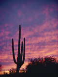 A Saguaro Cactus Silhouetted at Sunset Photographic Print by George F. Mobley
