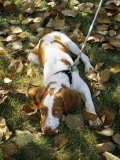 Portrait of a Brittany Spaniel Puppy Lying Among Fallen Autumn Leaves Photographic Print by Paul Damien