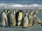 An Adult Emperor Penguin Joins a Group of Juveniles with Downy Coats Photographic Print by Maria Stenzel