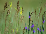 Prairie Grasses and Prairie Flowers Fotografie-Druck von Annie Griffiths Belt