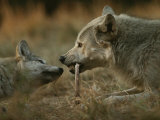 Gray Wolf Pup Begs an Adult for a Bone to Chew Fotoprint van Jim And Jamie Dutcher