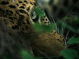 A Male Leopard Dozes During the Heat-Of-The-Day Photographic Print by Kim Wolhuter