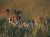 A Group of African Cheetahs Resting in the Grass Photographic Print by Chris Johns