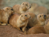A Group of Prairie Dogs Cluster Around the Entrance to Their Den Photographic Print by Annie Griffiths Belt