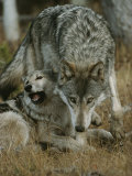 Gray Wolf with a Menacing Expression Stands over Another Photographic Print by Jim And Jamie Dutcher