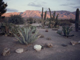 A Desert Cactus Garden in Nevada Photographic Print by Sam Abell