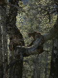 Mountain Lion Climbs up onto a Tree Limb Photographic Print by Jim And Jamie Dutcher
