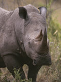 A Close View of a White Rhinoceros, Ceratotherium Simum Photographic Print by Tim Laman