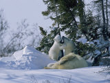A Polar Bear Cub Plays with its Resting Mother Near a Snow Drift Photographic Print by Norbert Rosing