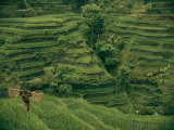 A Farmer Walks Past Terraced Rice Fields on Bali Photographic Print by Donna K.& Gilbert M. Grosvenor